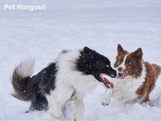 Border Collies playing in the snow.