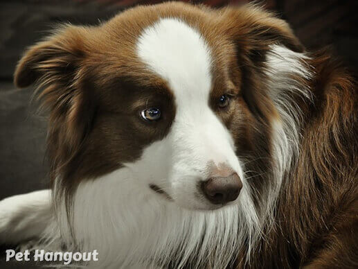 Brown and White Border Collie.