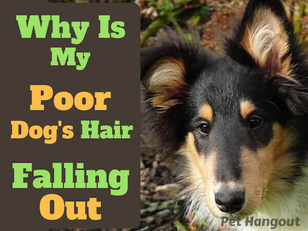 Why is my poor dog's hair falling out?