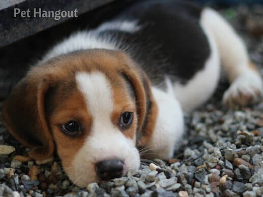 An adorable beagle puppy.
