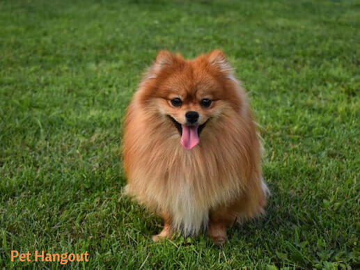 Pom posing in the grass.