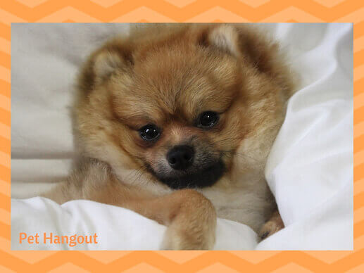 Pomeranian in the covers.