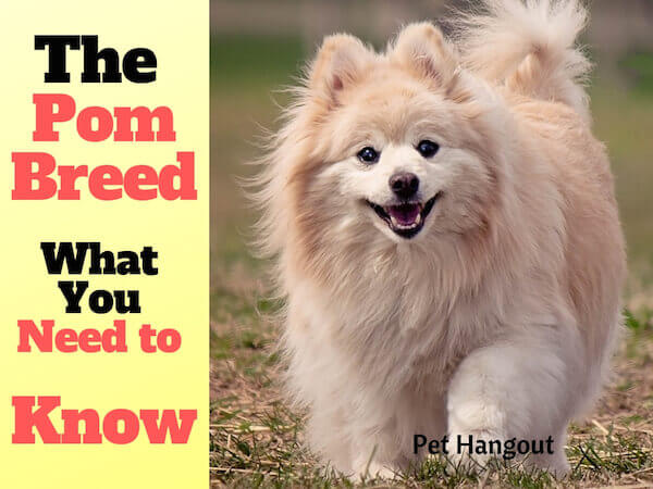 The Pom Breed what you need to know.