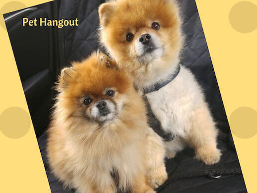 Two Poms sitting together.