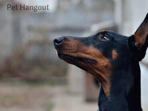 Doberman looking up.