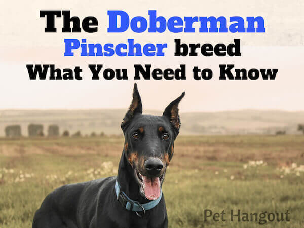The Doberman Pinscher breed what you need to know.