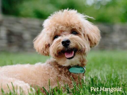 A poodle puppy.
