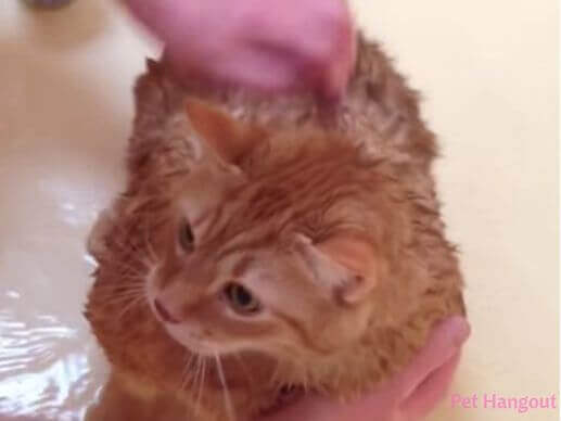 Kitty getting a bath.